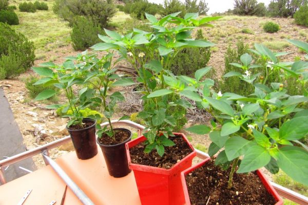 Harvest these very hot peppers for summer heat in winter!  4 inch diameter pots- $8 (These would be best transplanted into larger pots before winter) 6 inch diameter pots (gallonish size,) $10
