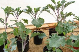 Yummy greens year round! These are really growing tall like trees in my greywater greenhouse. Hearty perennial vegetables like these are a  Permaculturists dream. I have potted cuttings for sale. More info on growing and cooking this amazing plant at projectreecollard.org.